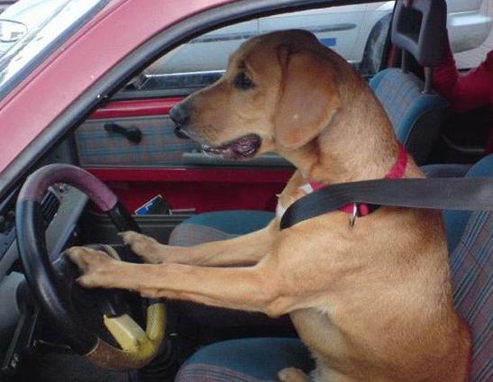 safe-driving-dog.png